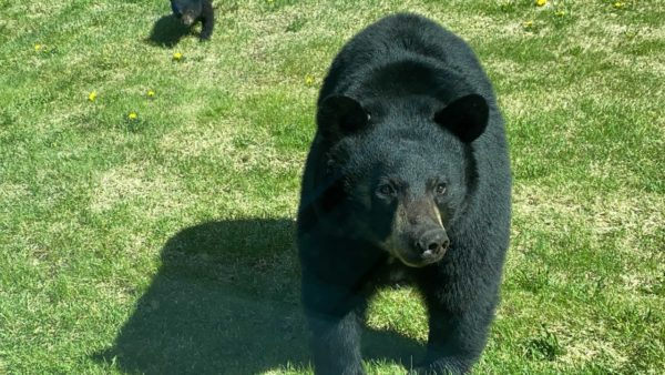 A close up photo of a large black bear, with a cub following behind