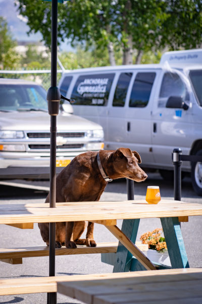 A brown dog sits on a picnic table, sniffing a glass of beer