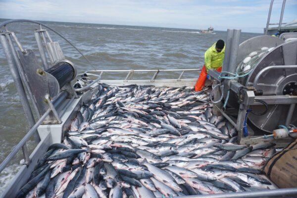 A fishing vessel full of salmon.