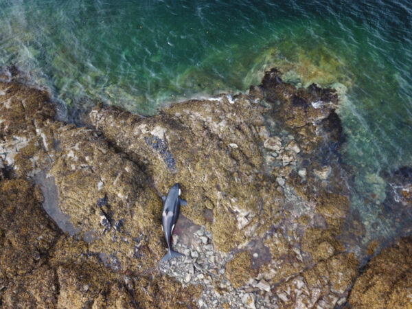 A killer whale stranded on a rocky beech as seen from above