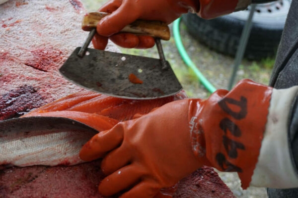 Two hands in orange work gloves use an ulu to cut through a fillet of salmon