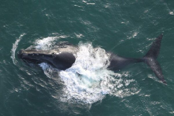 A whale surfaces in the ocean.
