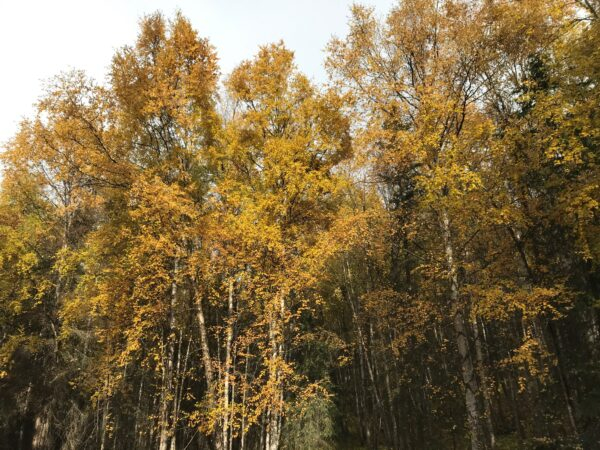 White-barked birch trees with a mostly yellow crown.